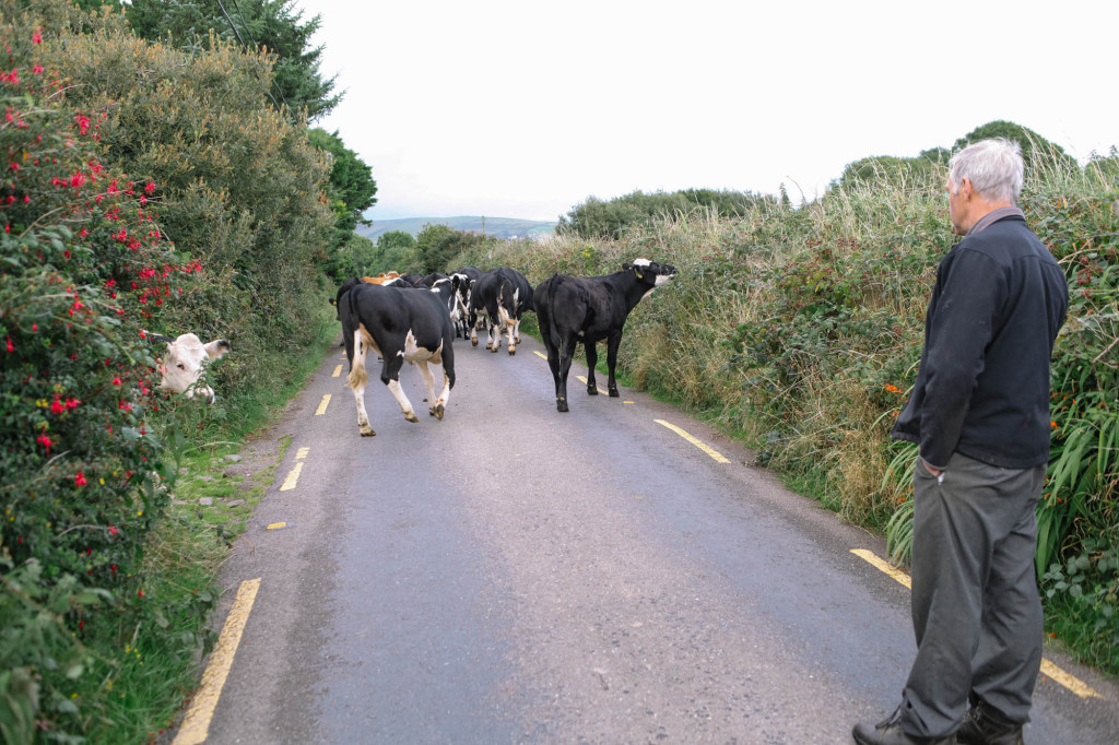 Dingle Cows-2